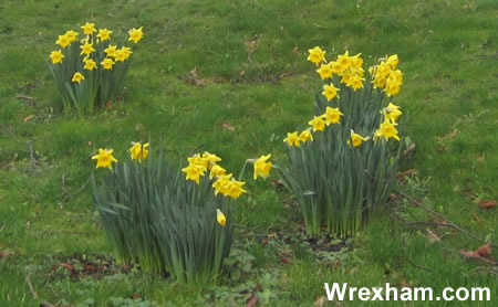 daffs-wrexham-flowers