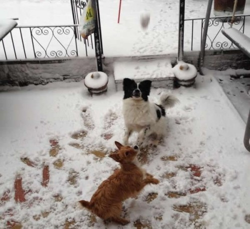 dogs with snowballs 500x457 Friday: Wrexham Snow   Live Updates And Information