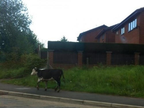 Carrying on the animal theme, twitter user @mr_sheep64 sent Wrexham.com the above photo of a cow in Borras!